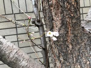 2018/3/16 桜?
